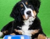 Intolerancija i alergija na žitarice kod pasa: Kako je prepoznati?