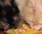Kako izabrati najbolju hranu za mačke?